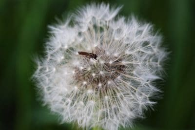 dandelion, nature, flora, macro, grass, herb, plant, flower