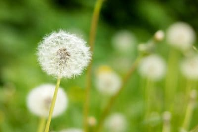 nature, summer, flora, dandelion, grass, flower, herb