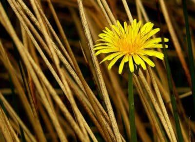 nature, herbe, jaune, herbe, l'été, pissenlit, plante
