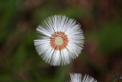 prirode, cvijet, livada, makronaredbe, detalj, divlji cvijet, sjeme
