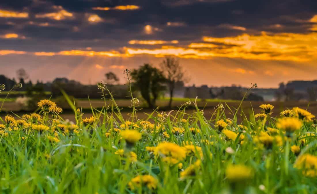 field, sunrise, dandelion, nature, rural, grass, summer, sun, flower, landscape