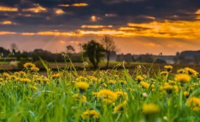 campo, dente de leão, nascer do sol, natureza, rural, grama, verão, sol, flores, paisagem