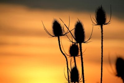 thistle, darkness, nature, herb, sunrise, silhouette, backlit