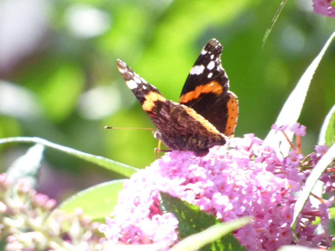 sommerfugl, natur, insekt, makro, blomst, sommer, blade, haven