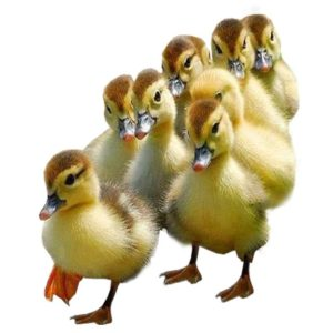 poultry, photomontage, bird, duck, animal, cute, chicken, born, waterfowl