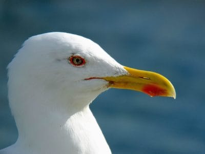 animal, ornitology, bird, wildlife, nature, seabird, seagull, beak, feather