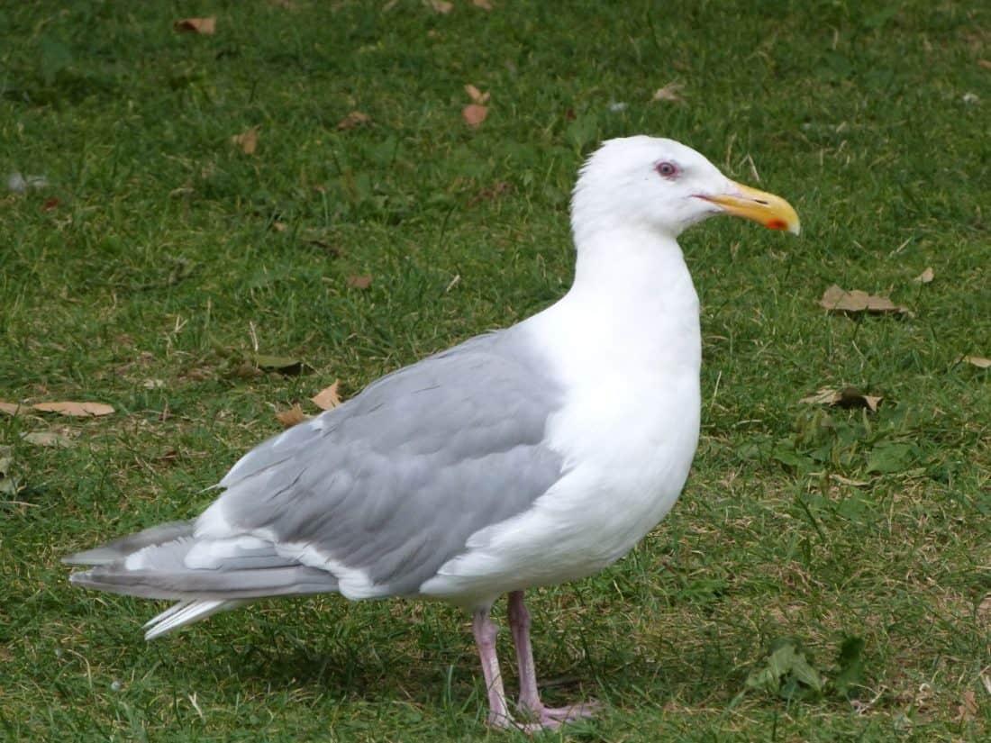 Vogel, Tierwelt, Natur, Tier, Ornithologie, Seevogel, Feder, Möwe