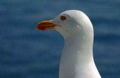 bird, wildlife, sea, seabird, beak, animal, ornithology, feather, seagull
