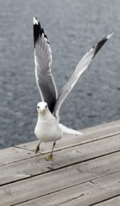 bird, nature, wildlife, animal, ornithology, seabird, seagull, feather, beak
