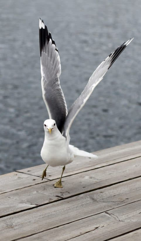 pták, příroda, přírody, zvířat, ornitologie, Mořský pták, Racek, peří, zobák