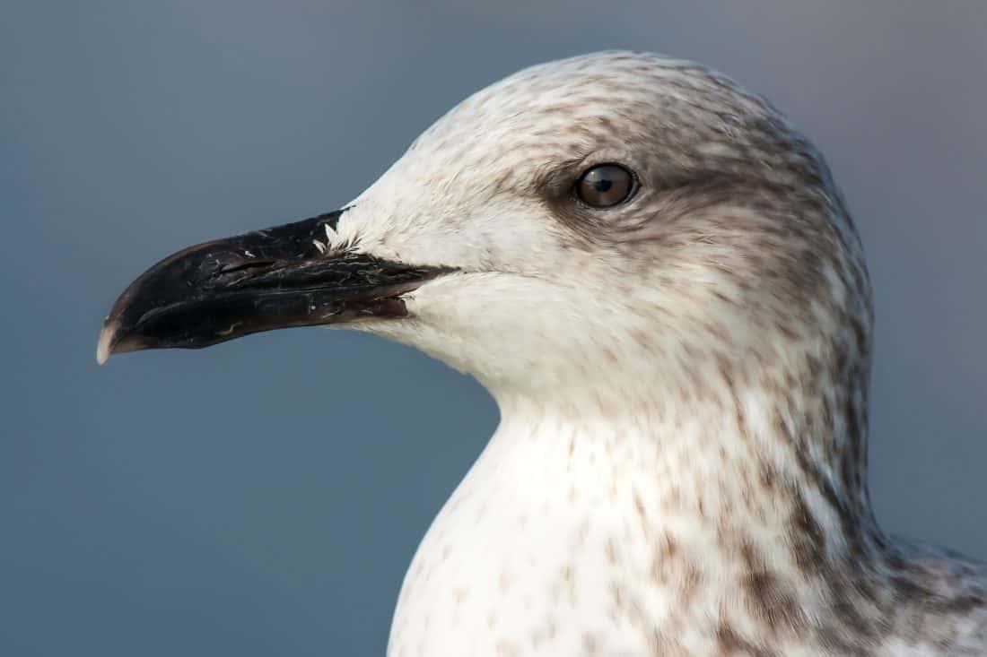 Vogel, Wildlife, Seevogel, Schnabel, Wild, Tier, Feder, Zoologie, Ornithologie