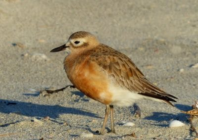 bird, wildlife, animal, ornithology, zoology, sand, beach, sandpiper, shorebird