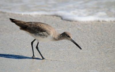 bird, wildlife, nature, shorebird, wild, sand, wave, beak, feather