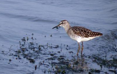 bird, wildlife, shorebird, animal, ornithology, sandpiper, water, feather