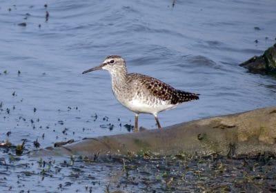 bird, wildlife, sandpiper, animal, ornithology, shorebird, birds, wild, feather