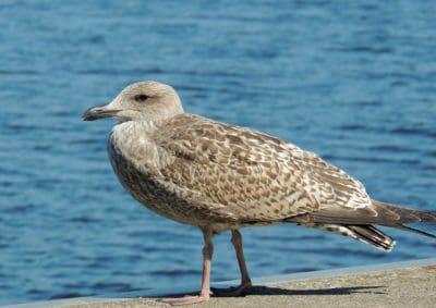 bird, wildlife, seabird, feather, animal, ornithology, seagull, wild, beak