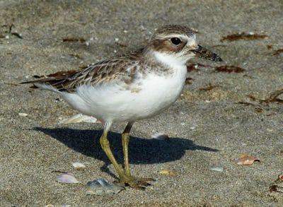 bird, wildlife, shorebird, sand, animal, sandpiper, beak, feather