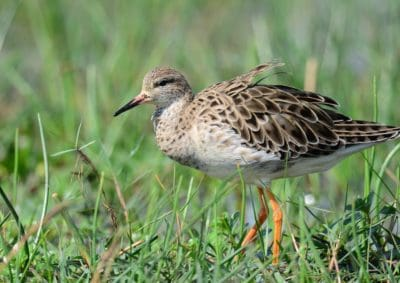 bird, wildlife, nature, wild, animal, ornithology, shorebird, sandpiper, shorebird