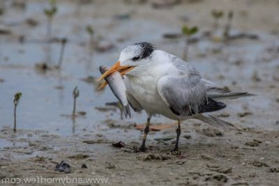 bird, wildlife, animal, ornithology, shorebird, beak, water, seabird, feather