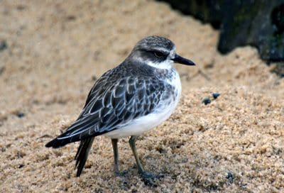 bird, wildlife, nature, shorebird, sandpiper, beak, wild