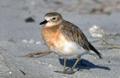 uccelli, fauna, animale, natura, shorebird, sandpiper, sabbia, all'aperto, zoologia