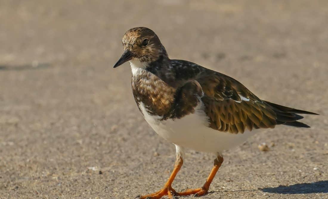 uccelli, fauna, natura, zoologia, sabbia, animali, shorebird, becco, piuma