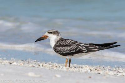 bird, wildlife, nature, sandpiper, animal, ornithology, sand, shorebird, feather