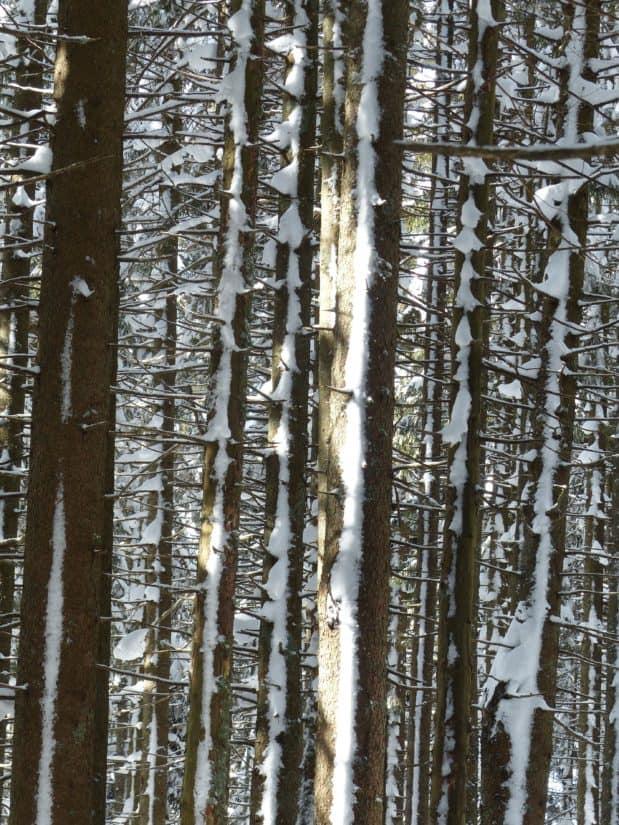 wood, winter, tree, snow, nature, forest, landscape, frost, poplar