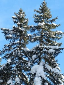 winter, snow, tree, evergreen, hill, blue sky, pine, conifer, spruce