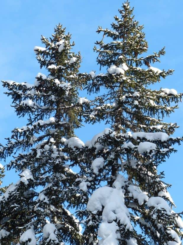 winter, snow, tree, evergreen, hill, blue sky, pine, conifer, spruce