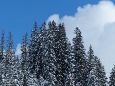coníferas, bosque, nieve, invierno, madera, árbol, escarcha, frío, paisaje, bosque