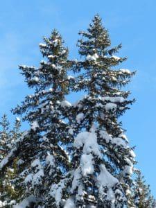 árbol, colina, cielo azul, invierno, madera, nieve, árbol de hoja perenne, paisaje, pino