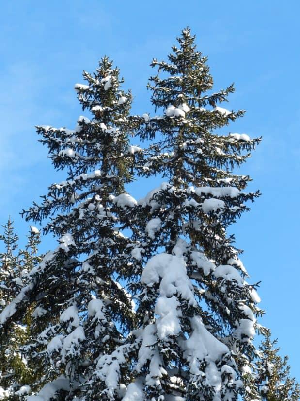 tree, hill, blue sky, winter, wood, snow, evergreen, landscape, pine
