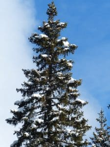 tree, hill, blue sky, pine tree, wind, conifer, winter, evergreen, landscape, wood