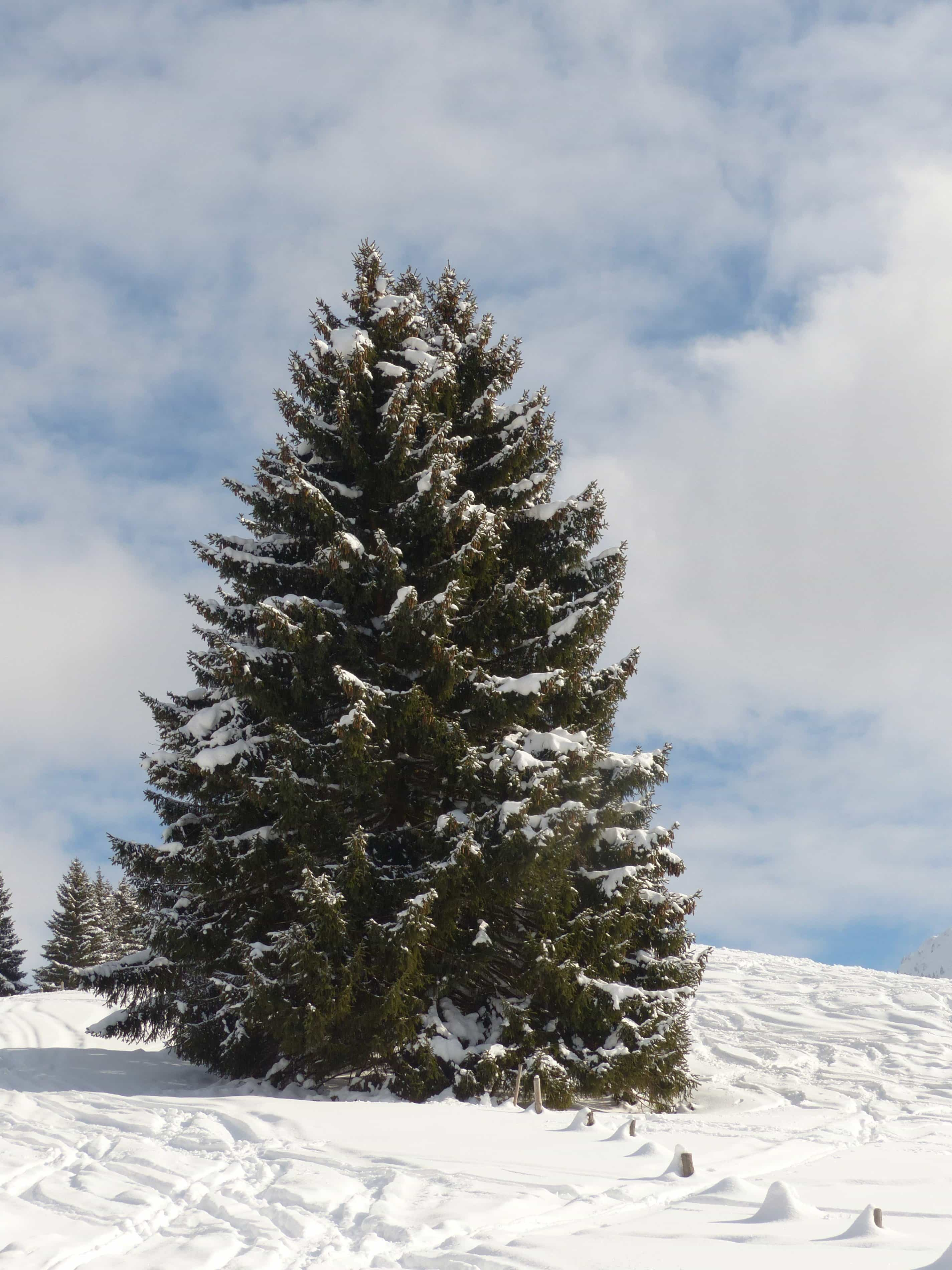 Free Picture Winter Snow Cold Conifer Hill Blue Sky