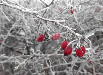 hiver, givre, branche, arbre, berry, nature, neige, fruits