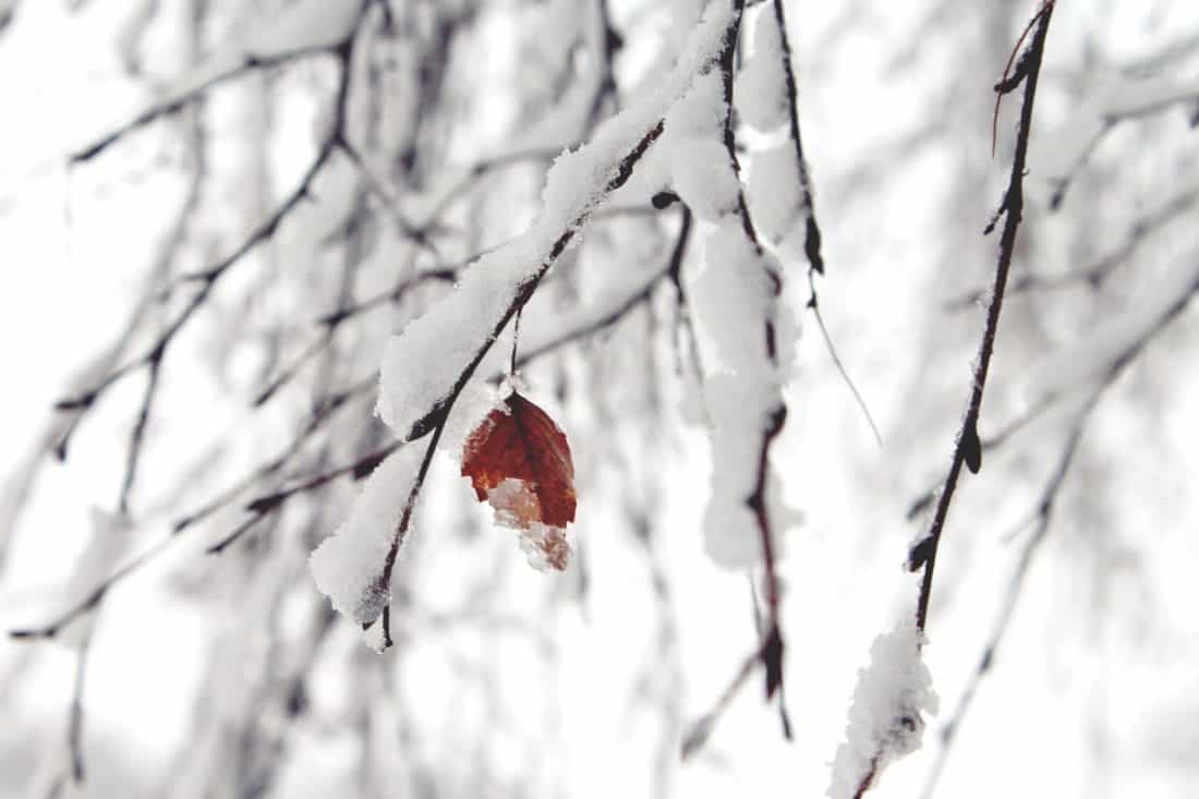 snowflake, winter, frost, snow, nature, leaf, branch, frozen, tree, cold