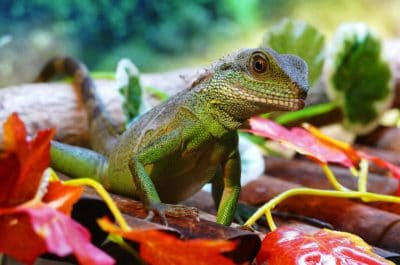 nature, lizard, reptile, zoology, animal, wildlife, dragon, chameleon