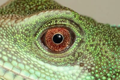 lizard, reptile, chameleon, animal, zoology, green, eye