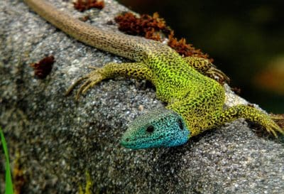 nature, lizard, animal, zoology, chameleon, reptile, animal
