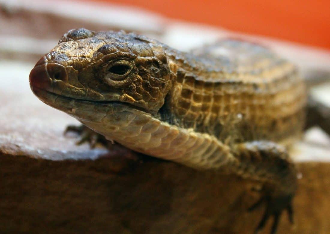 reptil, zmaj, zoologiju, priroda, biljni i životinjski svijet, gušter, životinja, divlje, iguana