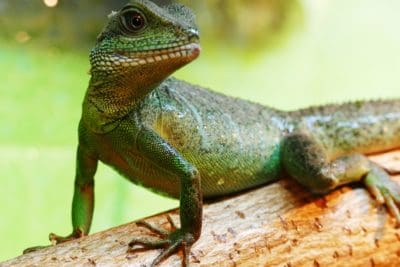 lizard, reptile, chameleon, zoology, dragon, wildlife, animal, nature