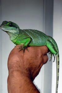 reptile, nature, lézard, main, portrait, animaux sauvages, caméléon
