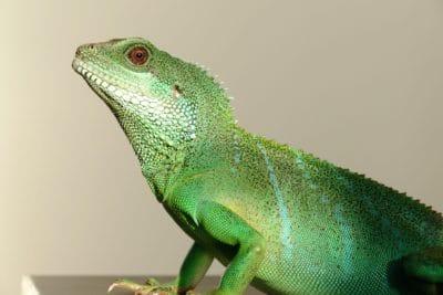 lézard, reptile, caméléon, animal, animaux sauvages, vertébré, nature