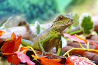nature, lizard, reptile, wildlife, dragon, zoology, camouflage, eye, iguana