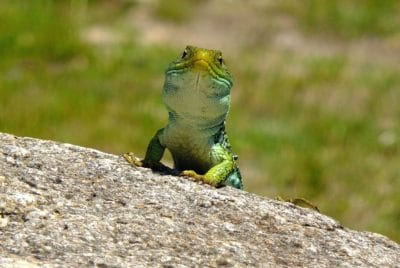 nature, wildlife, animal, lizard, reptile, zoology, camouflage, chameleon