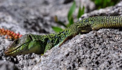 reptile, zoologie, camouflage, lézard, nature, faune, animal, sauvage, danger
