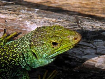 zoologia, camuffamento, rettile, lucertola, natura, fauna selvatica, rana, anfibio, occhio