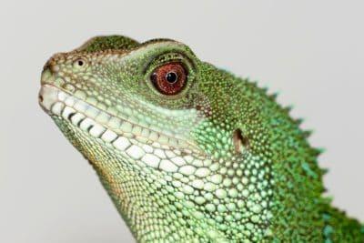 σαύρα, ερπετό, κεφάλι, πράσινο, σπονδυλωτά, χαμαιλέοντας, άγρια ζώα, φύση