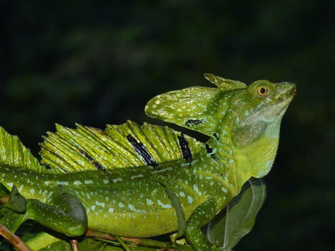 la faune, iguane, reptile, forêt tropicale, reptile, camouflage, vert